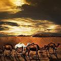 Camels by Jelena Jovanovic
