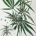 Cannabis  by Elizabeth Blackwell