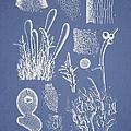 Ceratodictyon Spongiosum Zanard by Aged Pixel