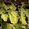 Chardonnay Wine Clusters by Craig Lovell