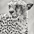 Cheetah by Adam Romanowicz