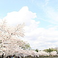 Cherry Blossoms - Washington Dc - 01131 by DC Photographer