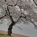 Cherry Blossoms - Washington Dc - 011343 by DC Photographer