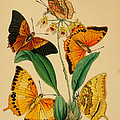 Chinese Butterflies 1847 by Philip Ralley