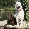 Chocolate And Cream Labradoodles by John Daniels
