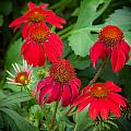 Coneflowers Echinacea Red  by Rich Franco