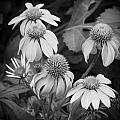 Coneflowers Echinacea Rudbeckia Bw by Rich Franco