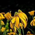 Coneflowers Echinacea Yellow Painted by Rich Franco