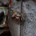 Crab In Mangrove Forest In Los Haitises National Park Dominican Republic by Andrei Filippov