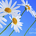 Daisy Flowers On Blue Background by Elena Elisseeva
