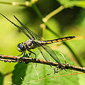 Dragonfly Print by Steven  Taylor