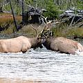 Elk Fighting  Print by Cody Hoagland