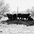 feed and fresh grass laid out for cows on winter farmland Forget Saskatchewan Canada by Joe Fox