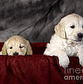 Golden Retriever Puppies by Angel  Tarantella