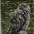 Great Horned Owl by Ernie Echols