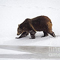 Grizzly Bear Walking In Snow by Mike Cavaroc