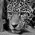 Jaguar In Black And White II by Sandy Keeton