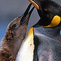 King Penguin With Chick by Art Wolfe