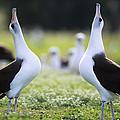 Laysan Albatross Courtship Dance Hawaii by Tui De Roy