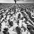 Lone Tree Print by John Farnan