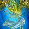 Mahi Mahi Hunting In Sargassum by Terry  Fox