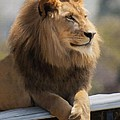 Majestic Lion by Sharon Foster