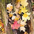 Maple Leaves by Steven Ralser