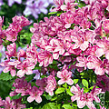 Pink And Blue Rhododendron by Frank Tschakert