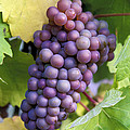 Pinot Gris Grapes by Kevin Miller