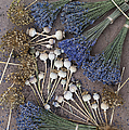 Poppy Seed Pods And Dried Lavender by Tim Gainey