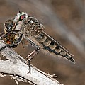 Robber Fly And Prey by Science Photo Library