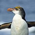 Royal Penguin Macquarie Isl Antarctica by Konrad Wothe