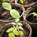 Seedlings Growing In Peat Moss Pots by Elena Elisseeva