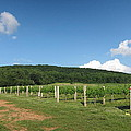 Vineyards In Va - 12127 by DC Photographer