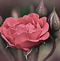 Vintage Rose No. 4 by Richard Cummings