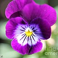 Viola Named Sorbet Plum Velvet Jump-up by J McCombie
