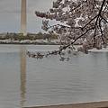 Washington Monument - Cherry Blossoms - Washington Dc - 011317 by DC Photographer