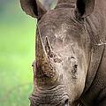 White Rhinoceros by Johan Swanepoel