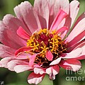 Zinnia From The Whirlygig Mix by J McCombie