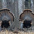 Jake Eastern Wild Turkeys by Linda Freshwaters Arndt