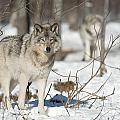 Timber Wolf Pictures by Wolves Only