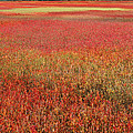 Autumn Blueberry Field Maine by Scott Leslie