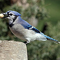 Bluejay by Jim Nelson