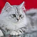 British Longhair Kitten by Melanie Viola