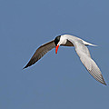 Caspian Tern by Jim Nelson