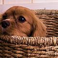Cavalier King Charles Spaniel Puppy In Basket by Edward Fielding