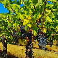 Grapes On The Vine by Jeff Swan