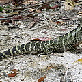 Lizard  by Joyce Woodhouse