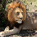 Male Lion On The Masai Mara  by Aidan Moran