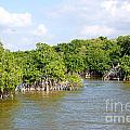mangrove forest Print by Carol Ailles